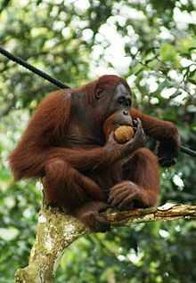 220px-Orang_Utan,_Semenggok_Forest_Reserve,_Sarawak,_Borneo,_Malaysia.jpg