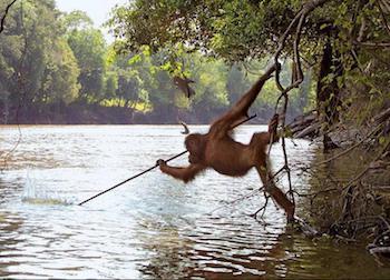 Orangutan-Fishing.jpg