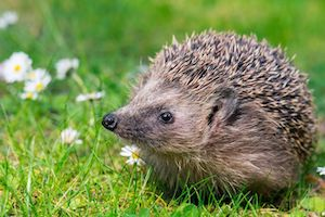 Hedgehog-Flowers-Meadow-Field.jpg.653x0_q80_crop-smart.jpg