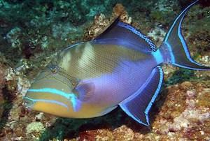 queen-triggerfish-balistes-vetula-1.jpg