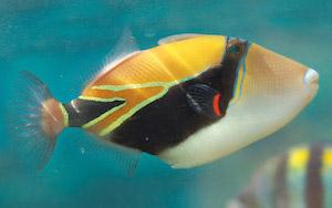 reef-triggerfish_620.jpg